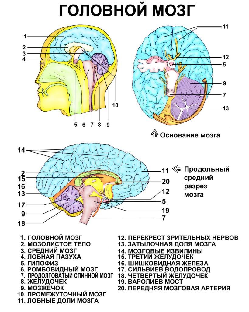 Схема головного мозга фото