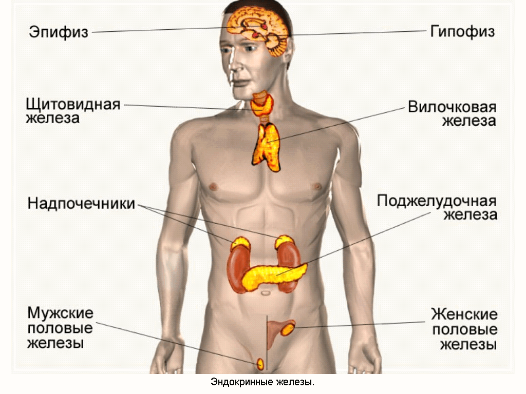 Железа Поджелудочная