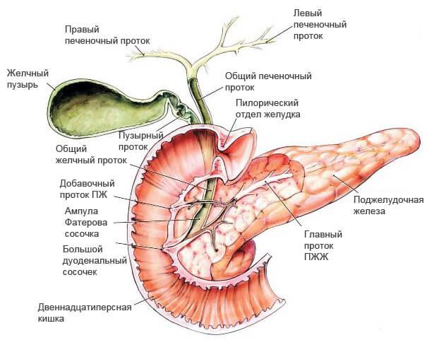 Как устроена поджелудочная железа: где находится, строение и функции