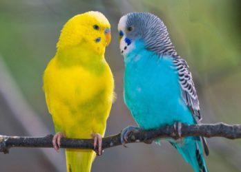 два волнистых попугайчика