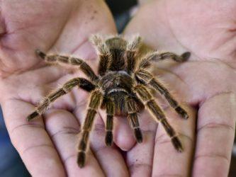 мохнатый паук