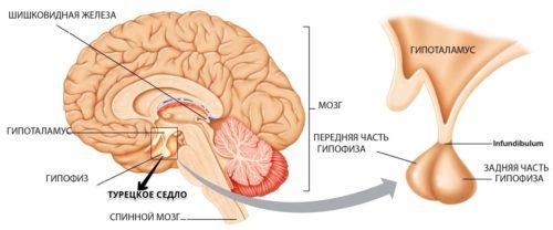 анатомия турецкого седла