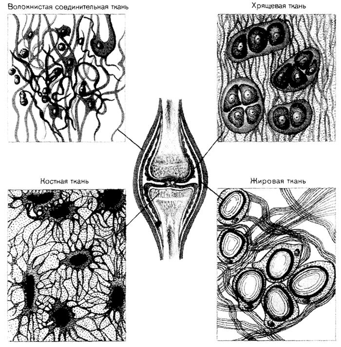 виды соединительной ткани