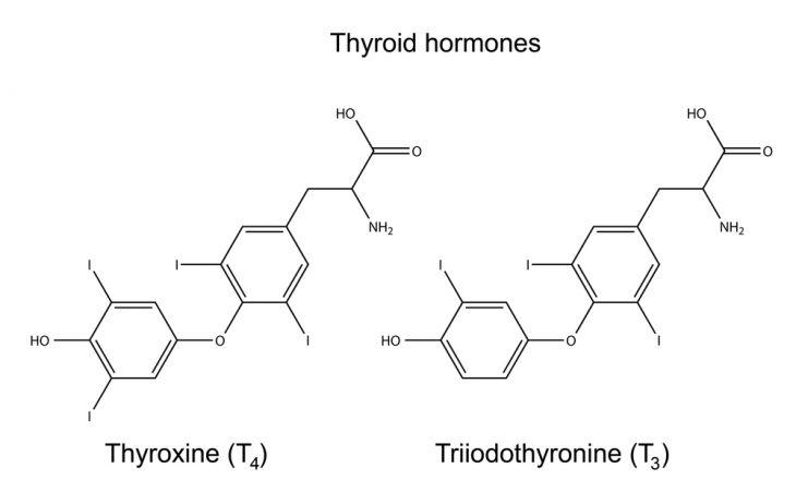 свободный тироксин ст 4