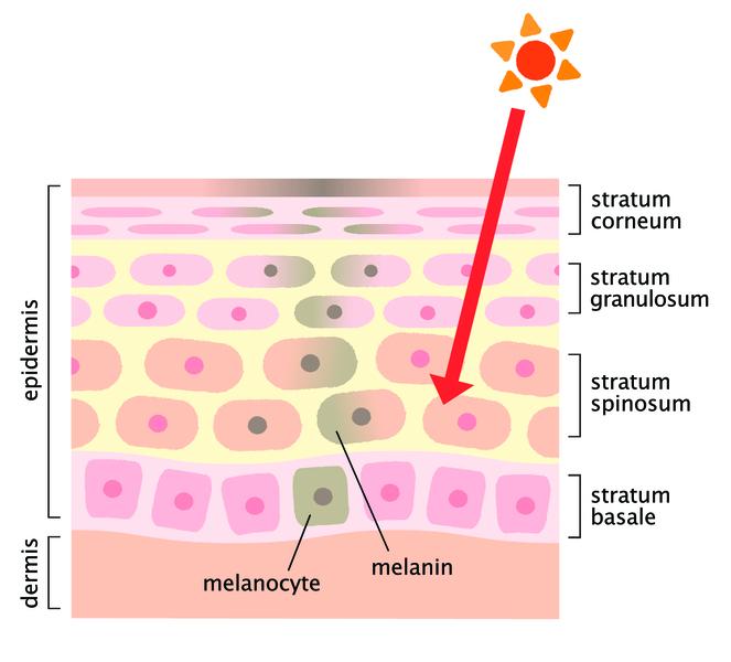 выработка меланина,как повысить уровень меланина,меланин,препараты меланина,дерматология,популярное