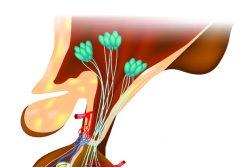 Гипофизарный нанизм (карликовость): причины и симптомы